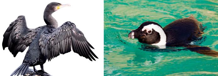 Zoek de verschillen: links de aalscholver, rechts de pinguïn.