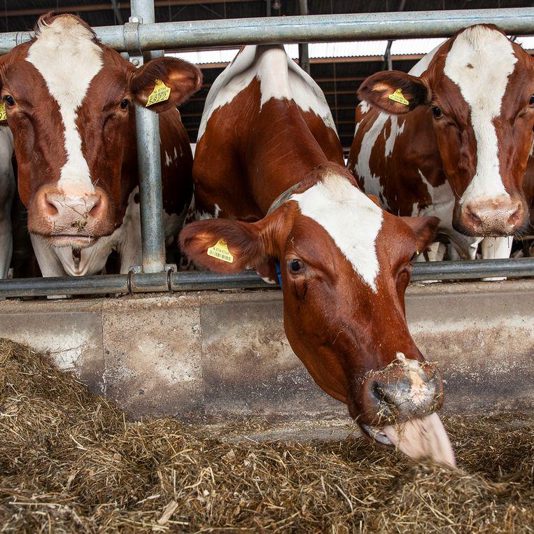 In de koeienstal van Jawin Klein Hegeman. Beeld Harry Cock / de Volkskrant