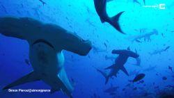 VIDEO. Prachtige beelden van zee vol hamerhaaien