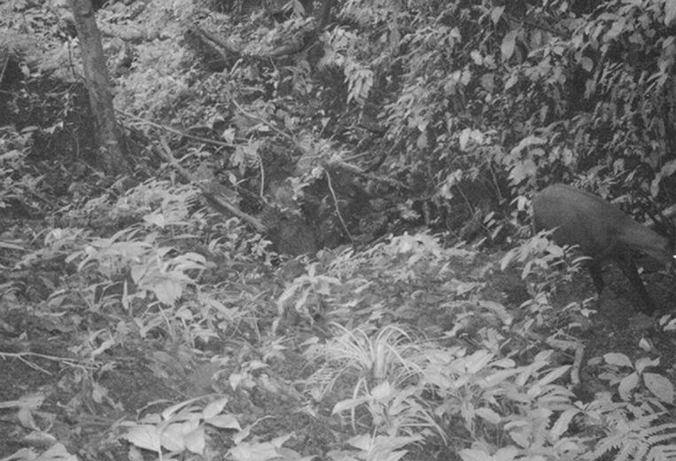 Een still uit de video van het WNF, rechts in beeld is de saola te zien. Beeld null