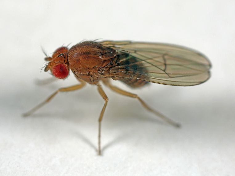 Simon Kaschock-Marenda kweekte samen met zijn vader thuis fruitvliegjes die hij op vier verschillende diëten zette van zoetstoffen. Beeld buiten-beeld