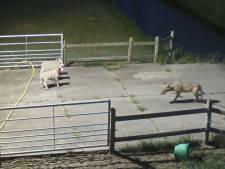 Particuliere grondbezitters Gelderland willen dat afschieten probleemwolf meteen mogelijk wordt: 'De Veluwe is geen dierentuin'