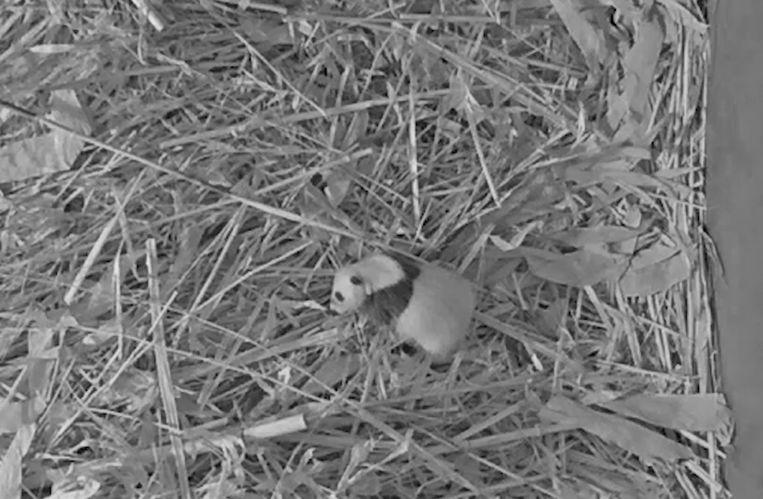 Babypandabeer geboren in  Ouwehands Dierenpark Rhenen  Beeld Ouwehands Dierenpark Rhenen