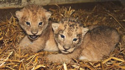 Zweedse zoo doodt negen gezonde leeuwenwelpjes omdat ze te duur zijn