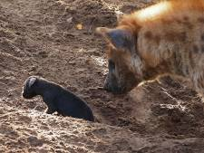 Schattig! Hyena-puppy geboren in Beekse Bergen