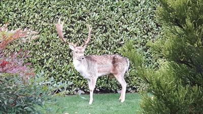 Damhert in tuin Prinsenbeek, instanties kwamen niet opdagen: 'En nu is hij dood'