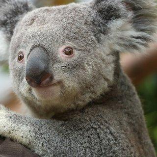 koala%E2%80%99s:-sloom-kieskeurig-%C3%A9n-eigenwijs