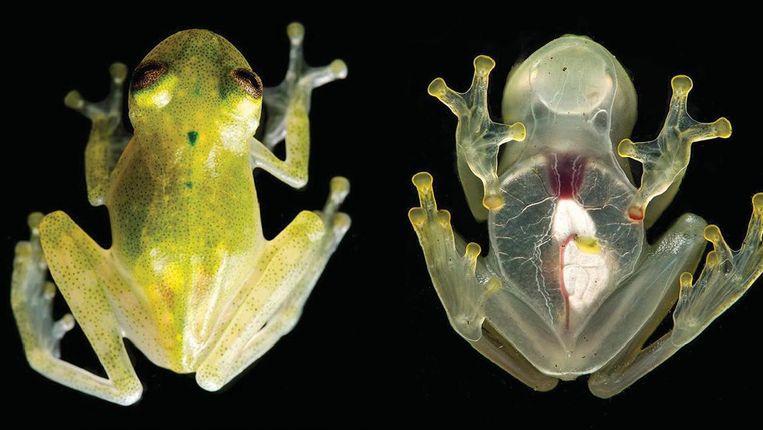 Door de buik en borst van de Yaku glassfrog kun je de organen zien en het hart zien kloppen. Beeld Zookeys