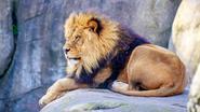 Leeuwen gedood nadat suïcidale man in hok springt