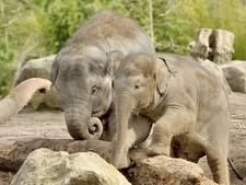 Olifanten in Blijdorp hunkeren naar comfortabele zandvloer