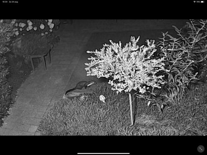 Leonard van Egmond heeft de in zijn tuin actieve steenmarter op beeld vastgelegd.