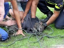 Ontspoorde kangoeroe met lasso gevangen