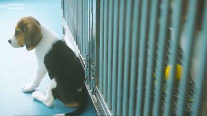Ethisch onverantwoord? Chinese wetenschappers klonen bewust zieke honden