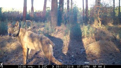 """Dreigberichten voor wolvin Naya: """"Als het moet, treffen wij als jagers zelf maatregelen. We zijn het kots-kotsbeu"""""""