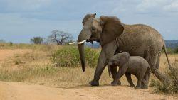 Trump zet door: jachttrofeeën van olifanten mogen dan tóch VS weer in
