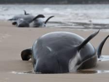 Honderden walvissen gestorven bij zandbank Tasmanië