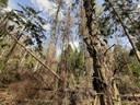 Vooral sparren hebben flink te lijden van de droogte, zoals in dit bosgebied tussen Drunen en Waalwijk.