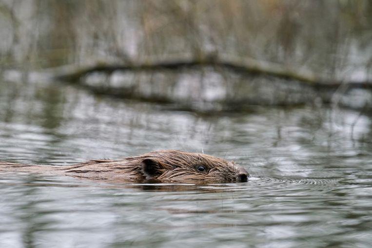 Na de grote grazers volgden ook soorten als de bever en otter.  Beeld Twan Teunissen