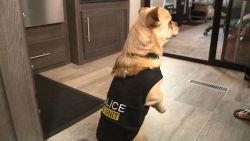 VIDEO. Dit is agent Mugshot, de kleinste politiehond ter wereld