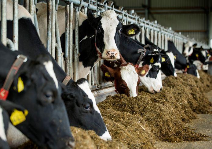 Koeien in de stal bij een melkveehouderij ter illustratie.