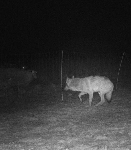 Nieuwe beelden laten zien hoe een wolf op de Veluwe bij schapen wordt geweerd met een elektrisch raster