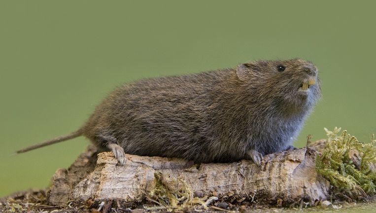 'De veldmuis is het belangrijkste voedsel voor veel soorten, hij is bij uitstek een prooidier.' Beeld