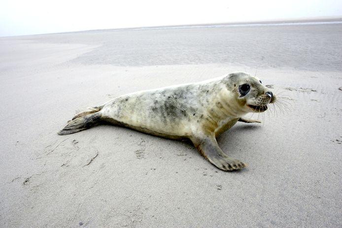 Een grijs zeehondje op een zandplaat in de Wadden.