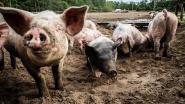 Vermiste Poolse boer waarschijnlijk opgegeten door eigen varkens