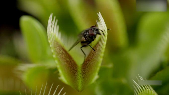 Prachtig maar gruwelijk: kijk hoe vleesetende plant vliegen vangt