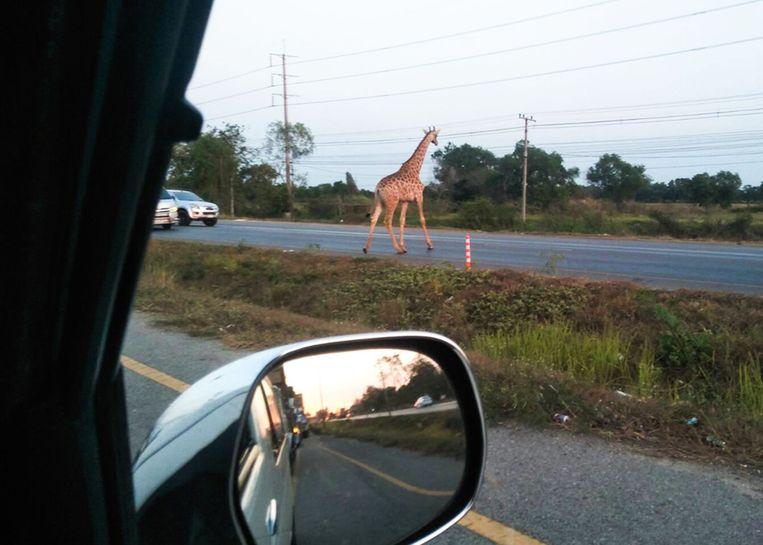De giraffen liepen tussen de auto's door in het midden van de weg na hun ontsnapping.