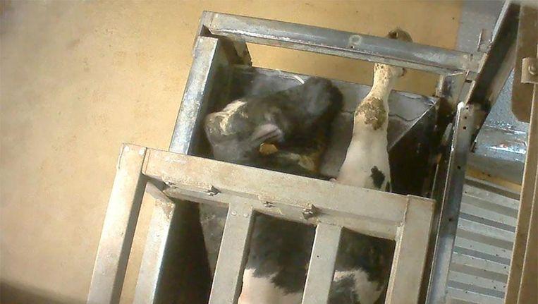 Een stier probeert uit een box te ontsnappen. Beeld Animal Rights