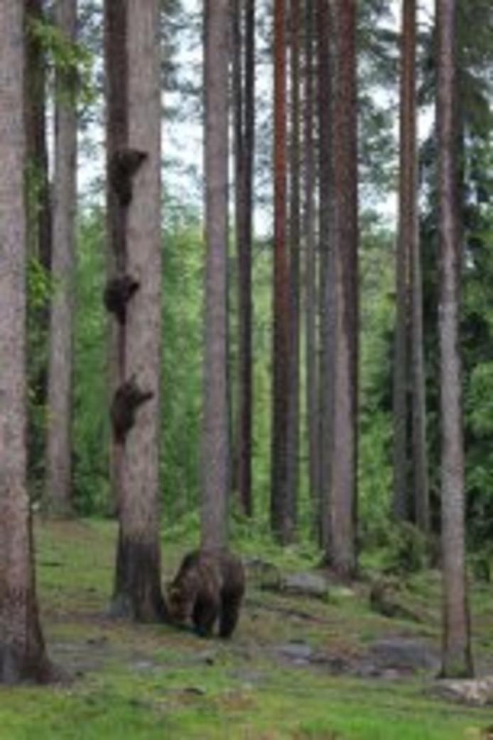 Ik zag drie beren....