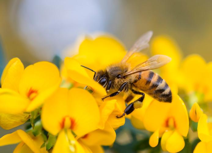 stockadr stockpzc bij bloem boterbloem insect