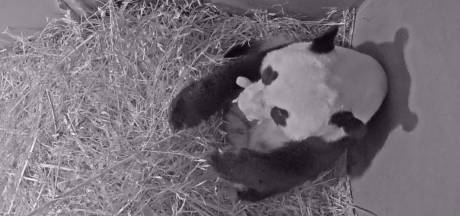 Pandababy geboren in Ouwehands Dierenpark in Rhenen