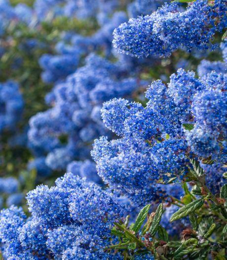 Plant eens een Ceanothus, die bloeit met een soort blauwe bloemkolen