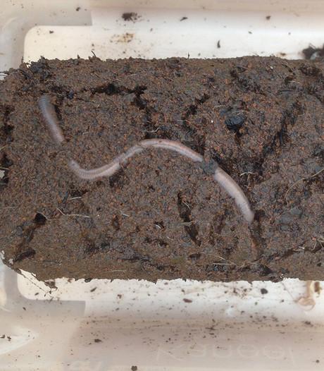 Regenwormen kunnen probleemloos seks hebben in vlijmscherp Marszand