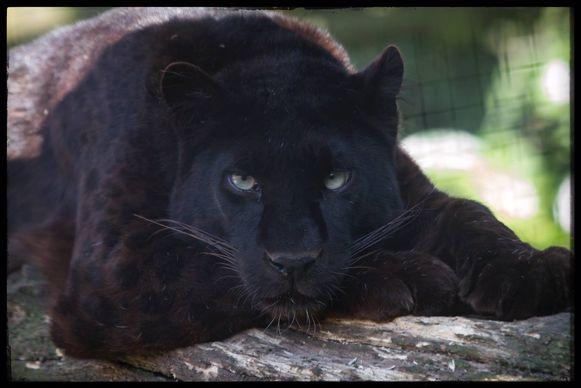 De zwarte panter Malik was meer dan 16 jaar oud.