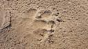 Een pootafdruk van de Noord-Veluwse wolvin. Boswachter Lennard Jasper van Staatsbosbeheer ontdekte eerder prenten van een wolf pal naast een provinciale weg op de Noord-Veluwe: het bewijs dat het roofdier wegen oversteekt.