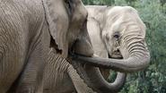 Amerikaanse zoos vliegen in het geniep 18 olifanten over uit Swaziland