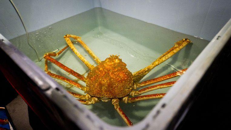 Reuzenspinkrab Crabzilla op een foto uit 2011 in zijn verblijf in Sea Life in Scheveningen. De krab werd verplaatst naar een filiaal van Sea Life in Parijs. Beeld ANP