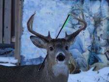 Canadese fotografe wil hert met pijl door zijn kop redden
