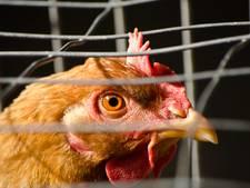 Vogelgriep vastgesteld bij pluimveebedrijf in Sint Philipsland