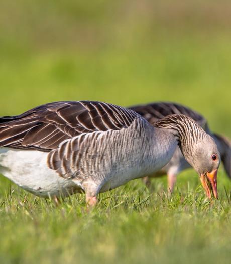 Goese ganzen worden gevangen en verhuisd