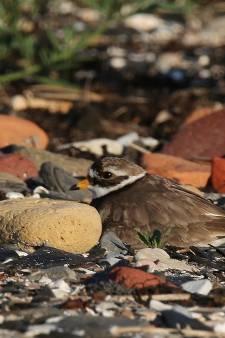 Nest van zeldzame bontbekplevier moedwillig vernield op strandje van Kattendijke: 'Dit is heel verdrietig'