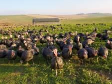 Le Royaume-Uni va abattre plus de 10.000 dindes en raison d'un foyer de grippe aviaire