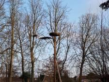 De Mikke heeft weer een ooievaarsnest: hoog en zonder takken die in de weg zitten