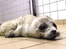 Kleinste zeehondenpup Gijsje heeft het toch niet gered