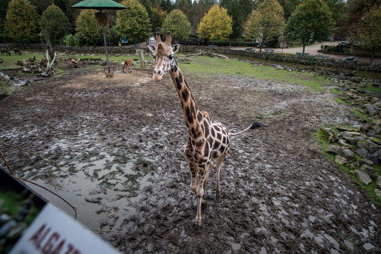 "De giraffen op hun 'savanne'. ""Véél groter dan die in Planckendael"", zegt Verheyen."