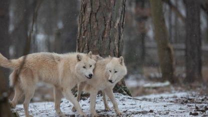 Poolwolfje geboren in Wildpark van de Grotten van Han