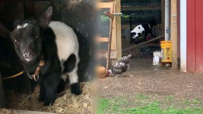 Ongelofelijk schattig: babygeitje denkt dat ze een kip is